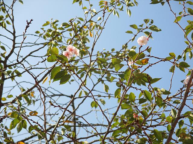 御会式桜(おえしきざくら)